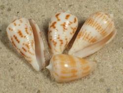 Conus andamanensis PH 1,5+cm