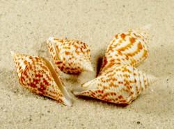 Conus praecellens 3+cm