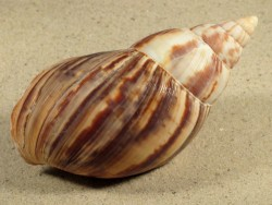 Achatina immaculata MG 10+cm