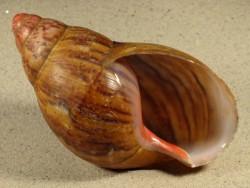Archachatina marginata TG 12,5+cm