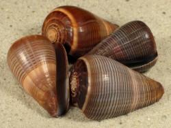 Conus figulinus 3+cm