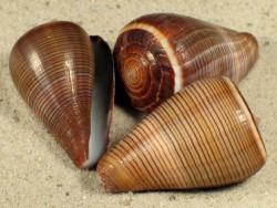 Conus figulinus 4+cm