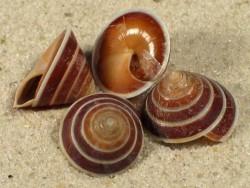 Geotrochus zonatus ID 1,4+cm