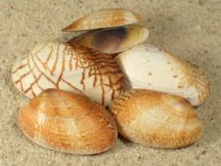Venerupis geographica FR-Mittelmeer 2+cm