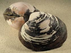 Muschel Arctica islandica DK 8+cm