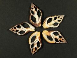 Pollia fumosa Gehäuseschnitt dunkel