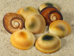 Turbo argyrostomus Operculum 1,5+cm (x5)
