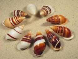 Chrysallis virgata 3,5+cm