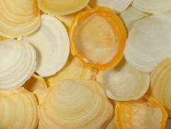 Butterblumen-Muschel 1/2 4-6cm (x4)