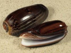 Oliva vidua dunkel ID 4,5+cm