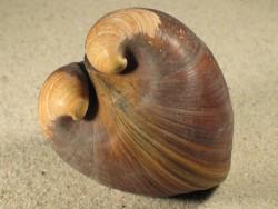 Glossus humanus IT 7,5+cm aus dem Mittelmeer