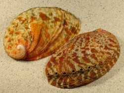 Haliotis diversicolor diversicolor 8,5+cm