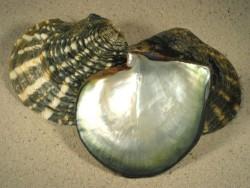 Pinctada margaritifera 1/2 12+cm