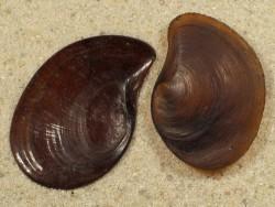 Pomacea paludosa Operculum 2,3+cm