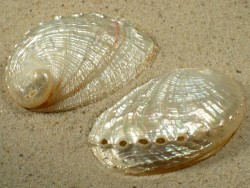 Abalone-Art Haliotis diversicolor Perlmutt 5+cm