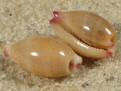 Cypraea microdon PH 0,9+cm