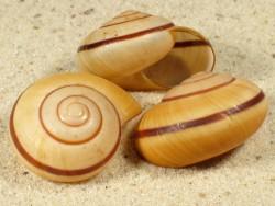 Hemiplecta sibylla ID 3,5+cm