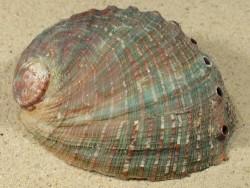 Haliotis assimilis MX 10+cm