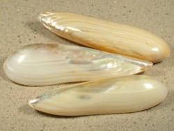 Lanceolaria sp. Perlmutt 8+cm