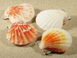 Bractaechlamys vexillum 4,5+cm