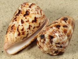 Conus zeylanicus IN 4,5+cm
