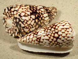 Conus bandanus poliert VN 7,5+cm ~ Sonderpreis