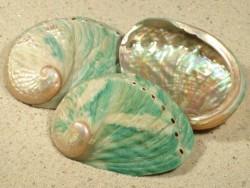Abalone-Art Haliotis laevigata grün AU 7+cm