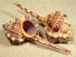 Haustellum langleitae IN 8+cm