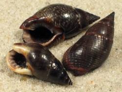 Nassarius reeveanus PH 1,5+cm