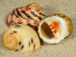 Nerita peloronta 2,5+cm