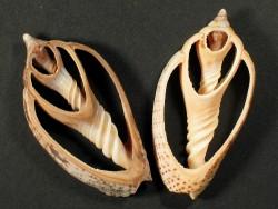 Harpulina lapponica Gehäuseschnitt