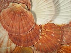 Pilgermuschel flache Klappe 9-12cm