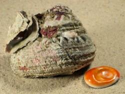 Bolma rugosa m/Op FR-Mittelmeer 5,8cm *Unikat*