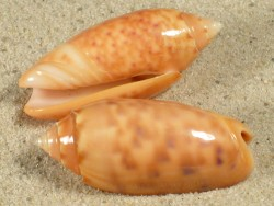 Oliva annulata nebulosa orange PH 3+cm