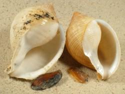 Galeodea echinophora FR-Mittelmeer m/Op 5+cm