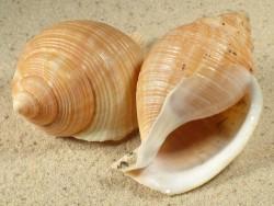 Galeodea echinophora FR-Mittelmeer 6+cm