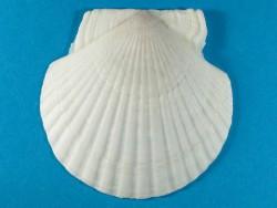 Ezo-Kamm-Muschel 1/2 tief 7-9cm