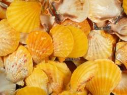 Orangene Fähnchenmuschel 1/2 3-5cm (x5)
