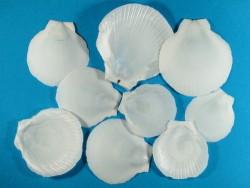 Kompaßmuschel weiß 1/2 4-7cm (x9)