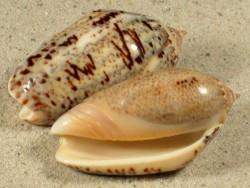 Oliva incrassata CR 5+cm