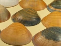 Glatte Venusmuschel L 1/2 7,5-9cm