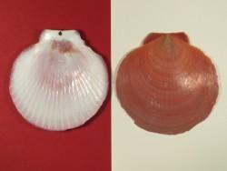 Kompaßmuschel dunkel 1/2 7-8m5cm (x2)