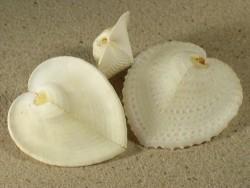 Muschel Corculum cardissa PH 3,5+cm