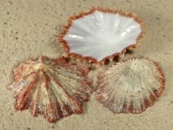 Schnecke Scutellastra tabularis ZA 4+cm