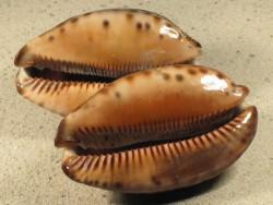 Cypraea arabica immanis MG 7+cm