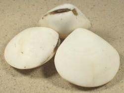 Geloina erosa weiß geschliffen 4+cm