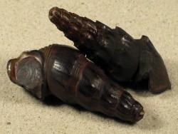 Madagasikara spinosa MG 5,5+cm