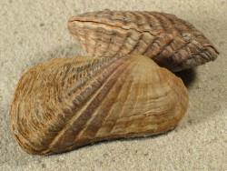 Carditamera affinis MX 4+cm