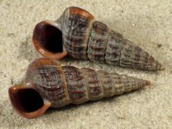 Cerithidea californica US 2,5+cm