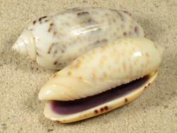 Oliva caerulea SB 3,4+cm